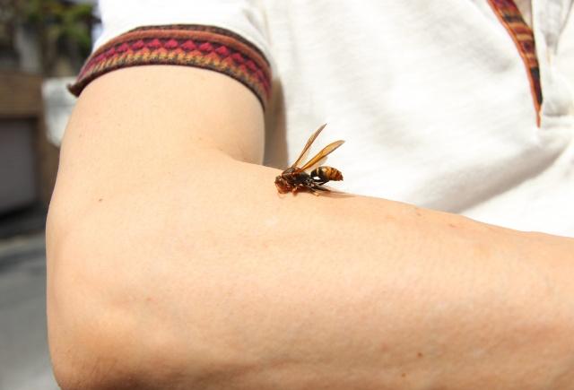 刺され た ミツバチ